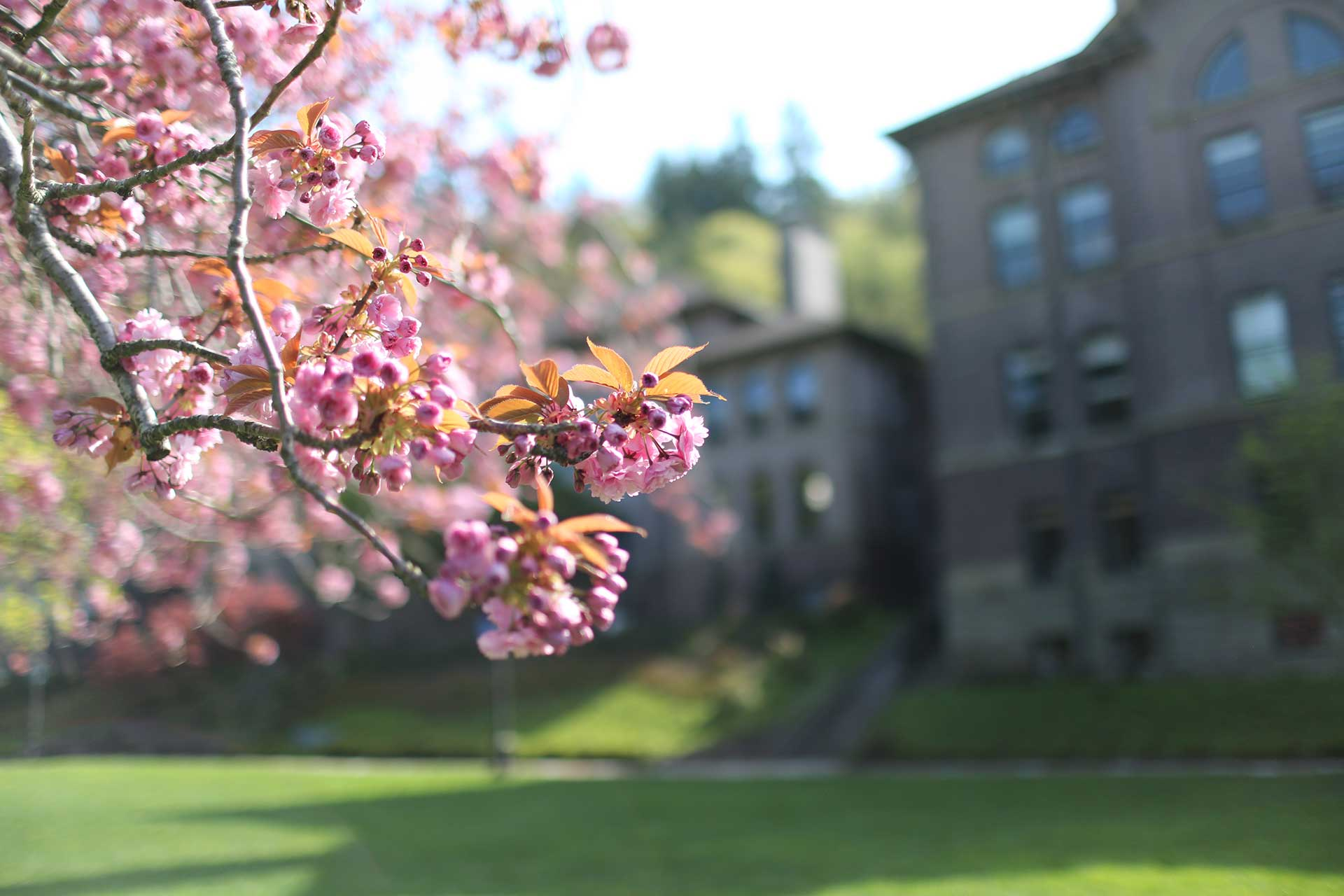 Cherry blossoms in the foreground, a nicely landscaped campus in the background